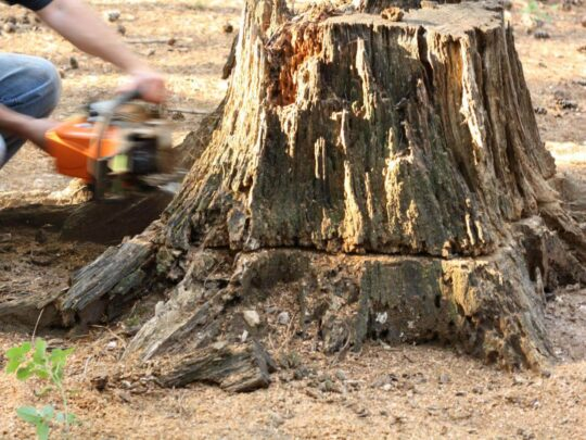 Stump Removal-Temple Terrace FL Tree Trimming and Stump Grinding Services-We Offer Tree Trimming Services, Tree Removal, Tree Pruning, Tree Cutting, Residential and Commercial Tree Trimming Services, Storm Damage, Emergency Tree Removal, Land Clearing, Tree Companies, Tree Care Service, Stump Grinding, and we're the Best Tree Trimming Company Near You Guaranteed!